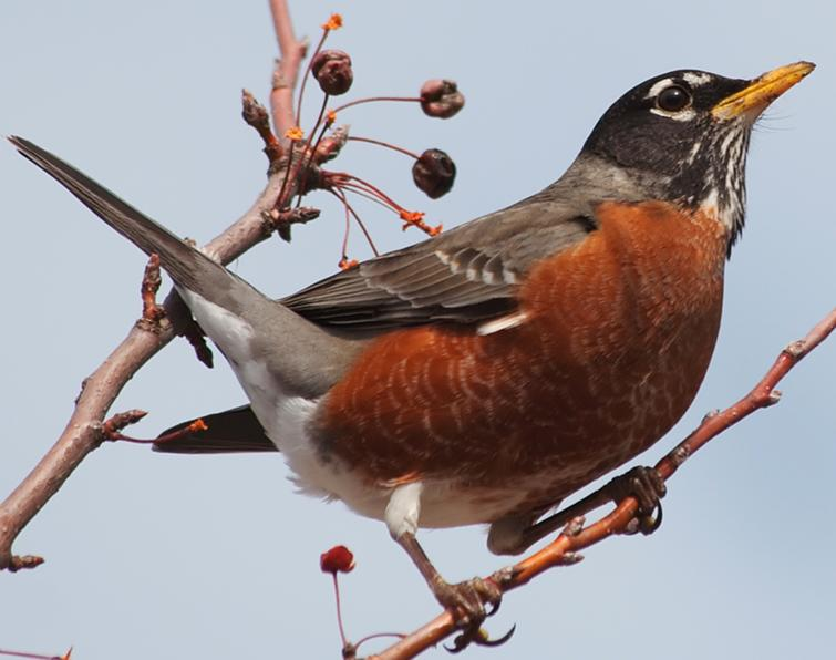 American Robin Songs and Calls - Larkwire