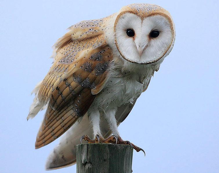 Barn Owl Songs And Calls Larkwire