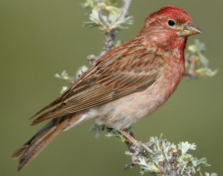 Cassin's Finch Songs and Calls - Larkwire