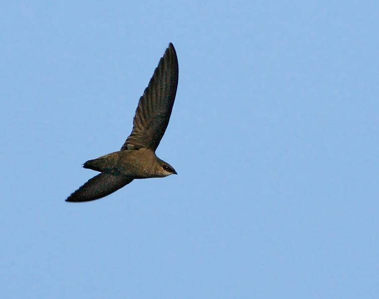 Chimney Swift Songs And Calls Larkwire