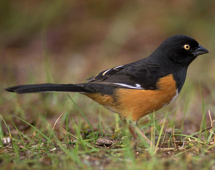 Image of Eastern Towhee
