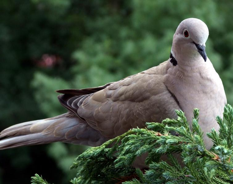 Image of Eurasian Collared-Dove