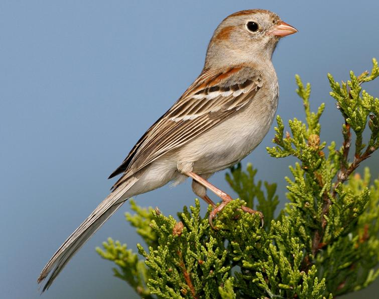 Image of Field Sparrow