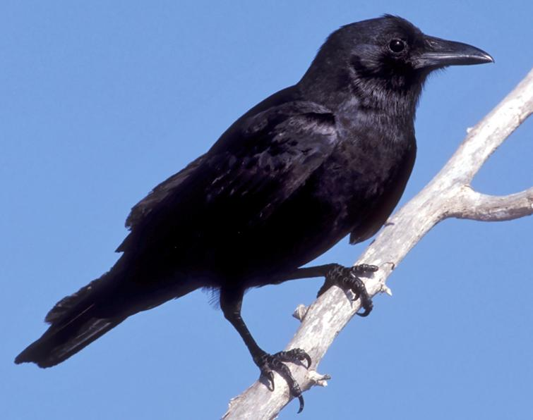 Fish crow songs and calls larkwire for Fish crow call