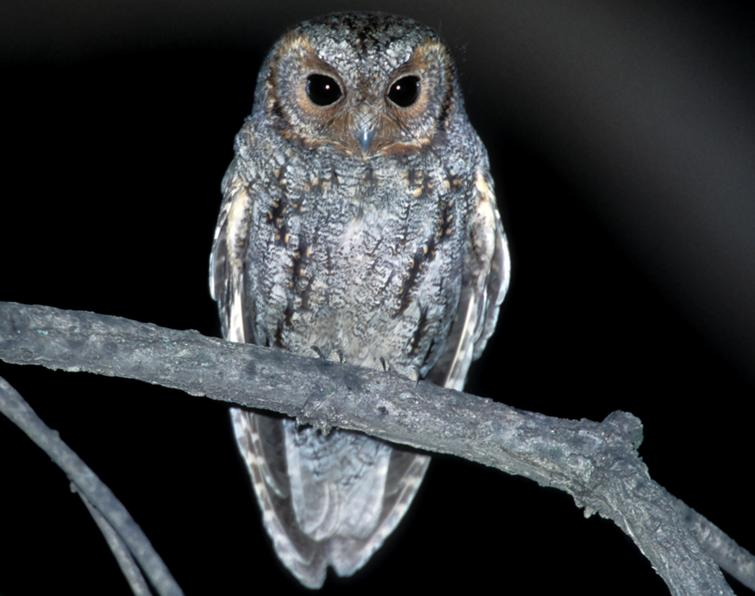 Image of Flammulated Owl