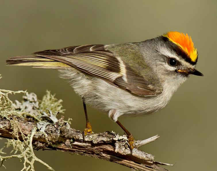 Image of Golden-crowned Kinglet