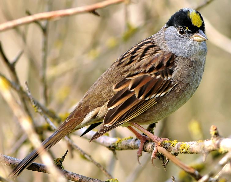 Image of Golden-crowned Sparrow