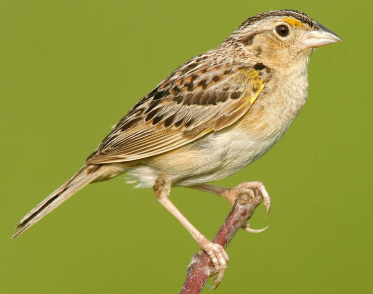 Image of Grasshopper Sparrow