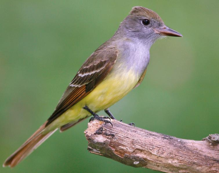 Image of Great Crested Flycatcher