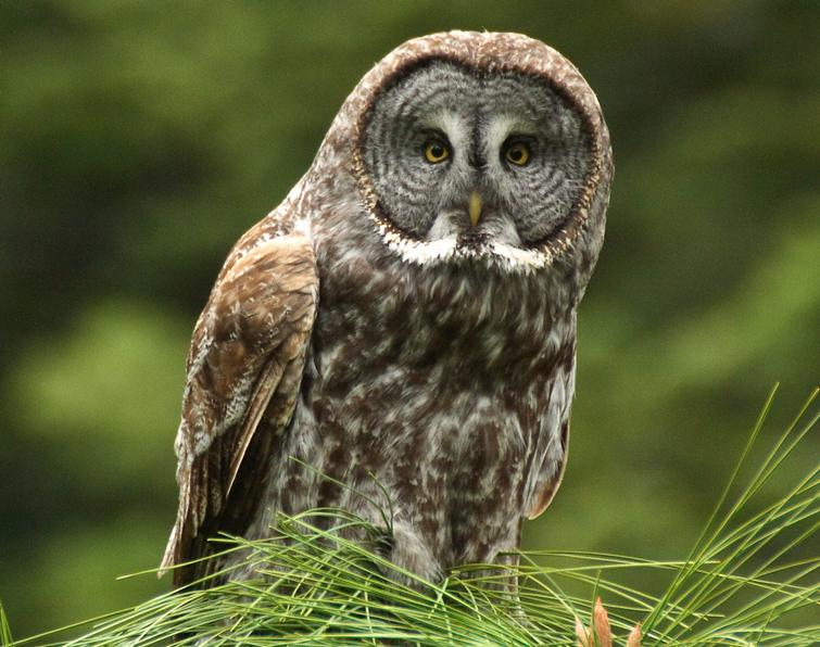 Great Gray Owl Songs and Calls - Larkwire