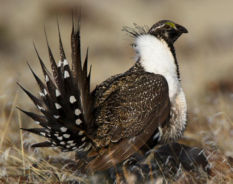 Image of Greater Sage-Grouse