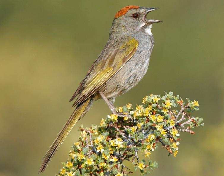 Image of Green-tailed Towhee