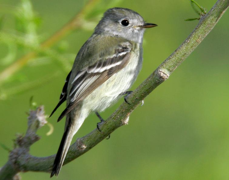 Image of Hammond's Flycatcher