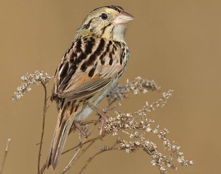 Image of Henslow's Sparrow