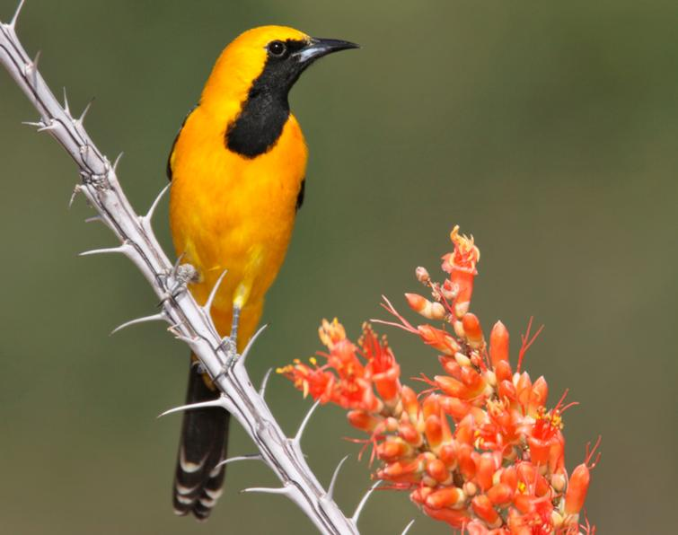 Image of Hooded Oriole