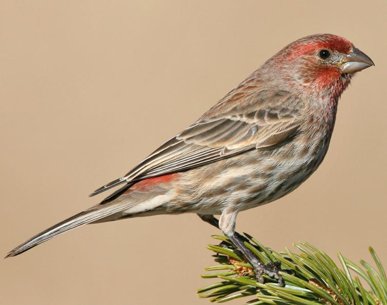 Image of House Finch