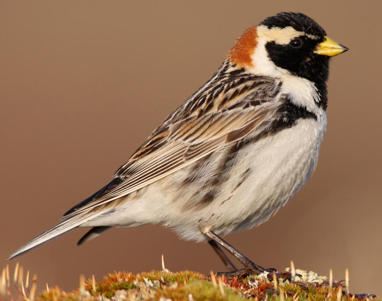 Image of Lapland Longspur