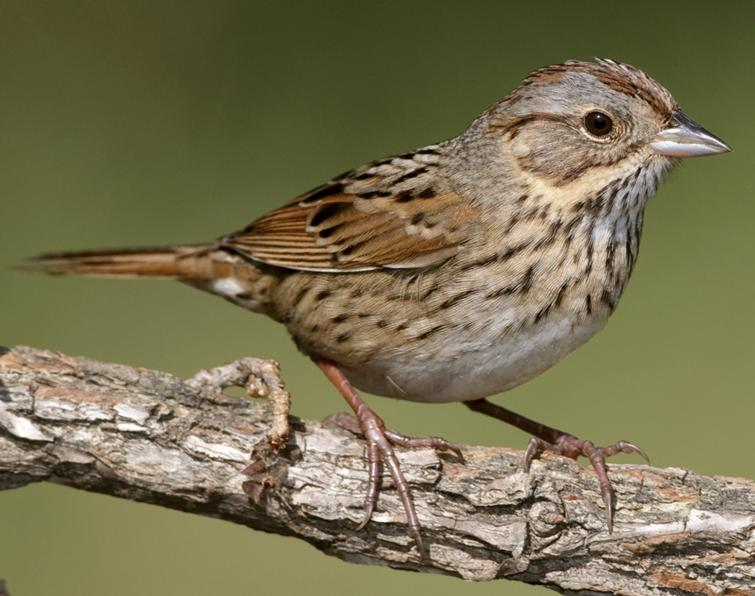 Image of Lincoln's Sparrow