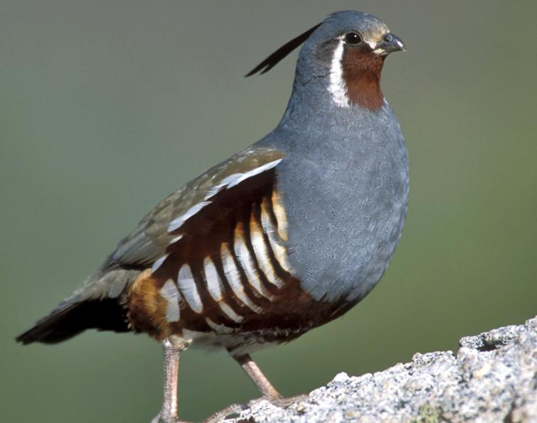 Image of Mountain Quail