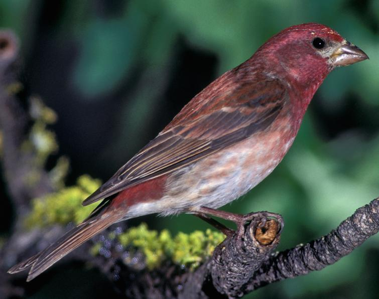 Purple Finch Songs and Calls - Larkwire