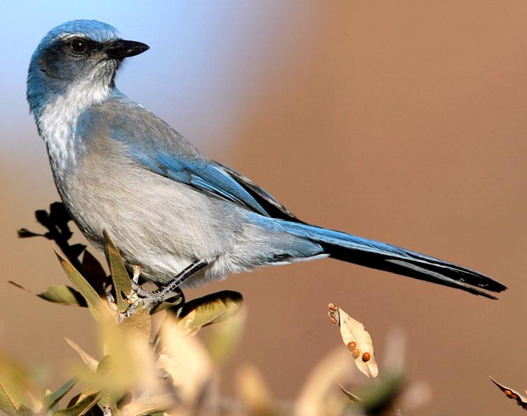 2fb24b816c8 Western Scrub-Jay Songs and Calls - Larkwire