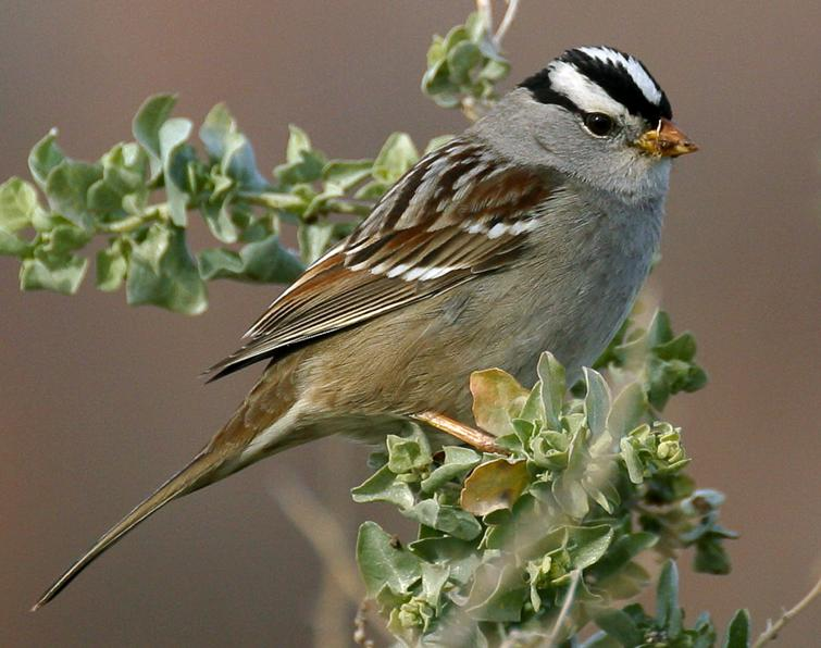 White-crowned Sparrow Songs and Calls - Larkwire
