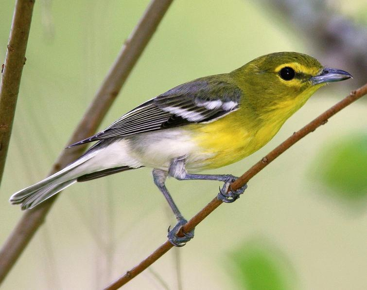 Image of Yellow-throated Vireo