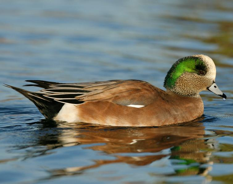 American Wigeon Songs and Calls - Larkwire