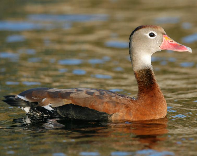 Black-bellied Whistling-Duck Songs and Calls - Larkwire