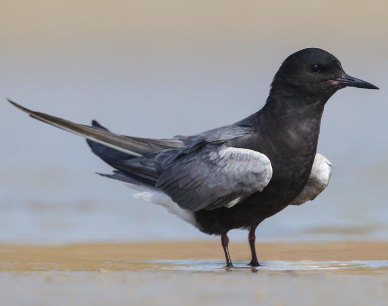 Black Tern: Advertisin...
