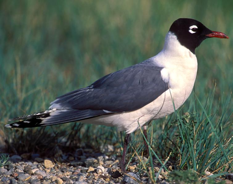 Image of Franklin's Gull
