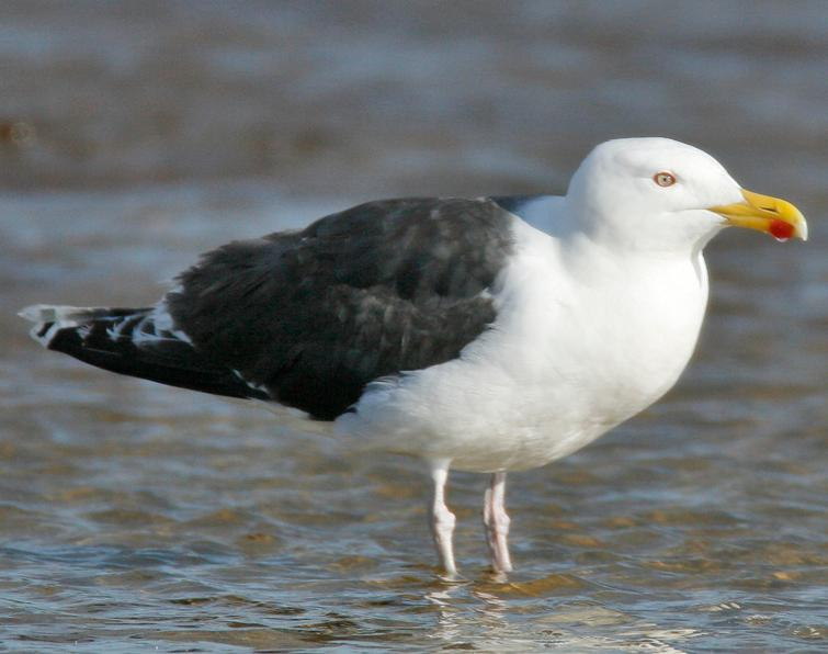 Image of Great Black-backed Gull