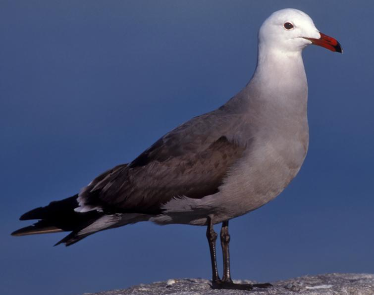 Image of Heermann's Gull