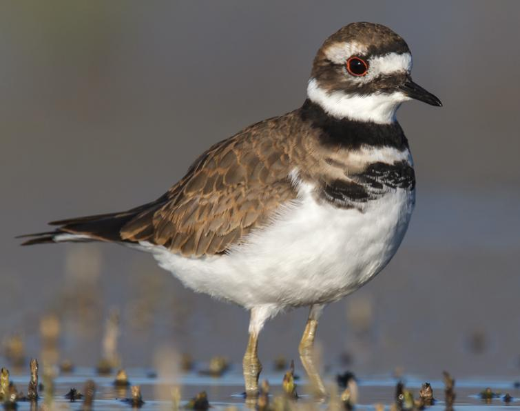 Image of Killdeer