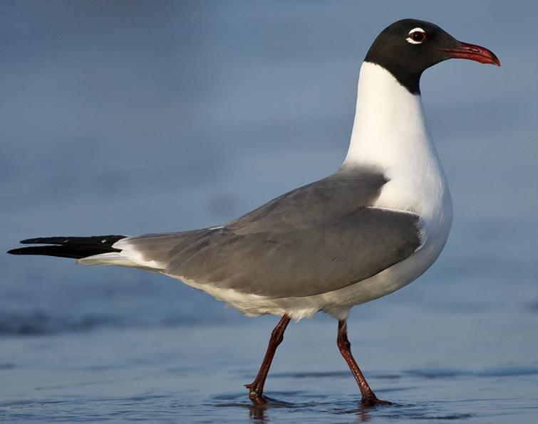 Image of Laughing Gull