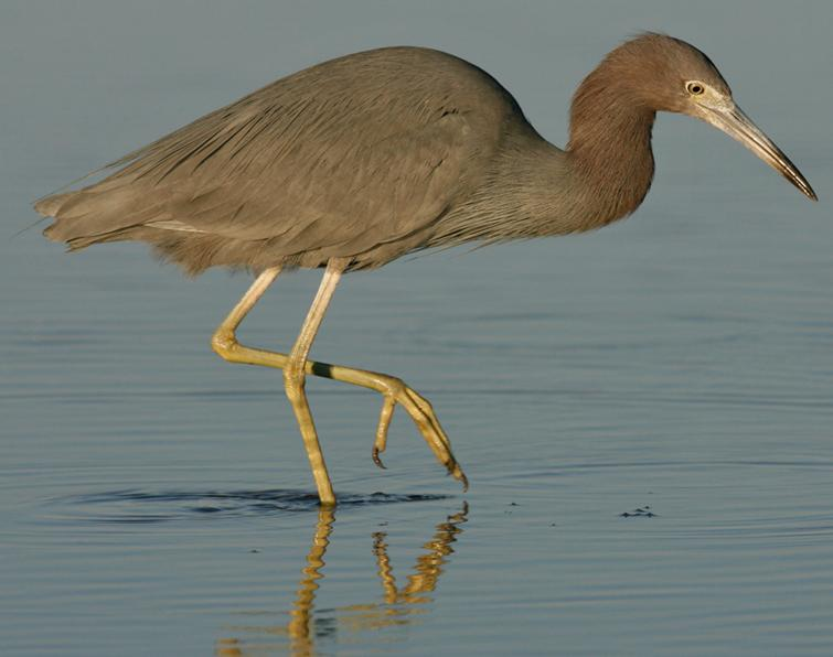 Image of Little Blue Heron