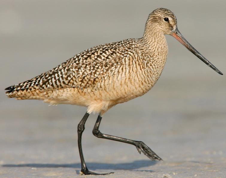 Image of Marbled Godwit