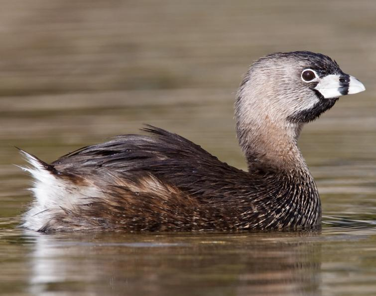 Pied-billed Grebe: A high, rapid chatter. • Song is a husky, hooting ...