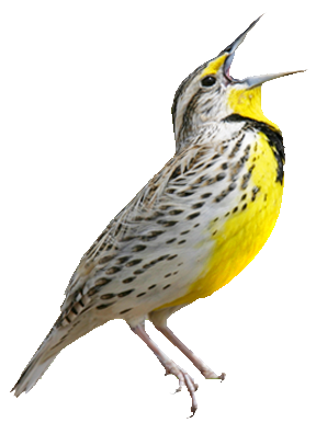 Western Meadowlark singing a song